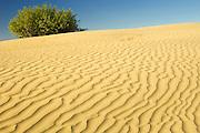 Ripples, sand dunes and willow (Salix sp.) tree<br /> Great Sand Hills<br /> Saskatchewan<br /> Canada