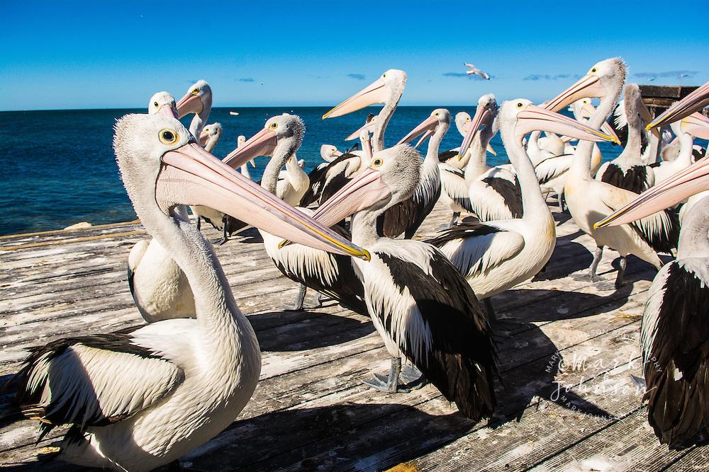 Australian Pelicans, Kingscote, Kangaroo Island, South Australia