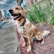 Boulder Meers, mascot of Meers Advertising located in the Crossroads District of Kansas City, MO. A delightful dog to spend an hour photographing.
