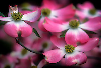 Pink dogwood bloom 3 soft