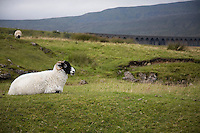 Sheep on pasture  Yorkshire Dales Yorkshire England