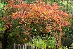 Acer aconitifolium at Glebe Cottage