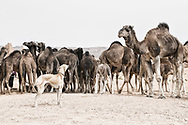 A Sloughi (Arabian greyhound) herds a group of dromedaries (camels) at a well in the desert of Morocco.