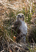 A Red-tailed hawk stands in tall grass.