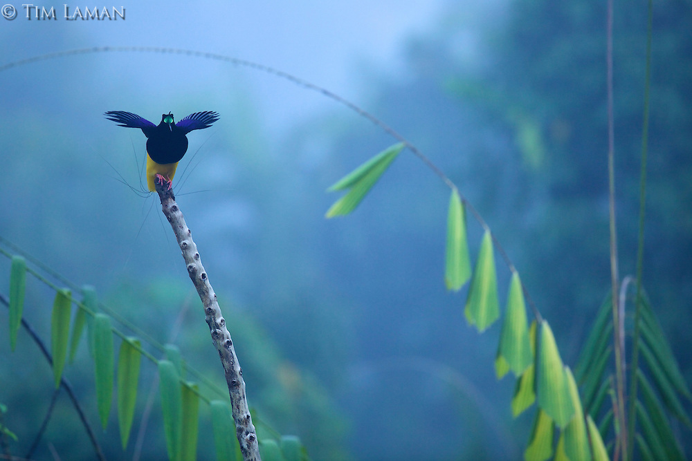 Twelve-wired Bird of Paradise (Seleucidis melanoleuca) male at display perch in the swamp rain foerst at Nimbokrang, Papau, Indonesia, Island of New Guinea..