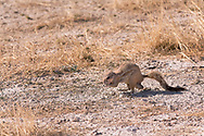 The mountain ground squirrel is native to southwestern Angola, western Namibia and western South Africa. It is also known as the Kaoko ground squirrel or Damara ground squirrel