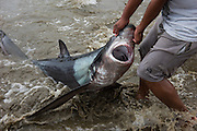 Thresher Shark On Beach<br /> Puerto Lopez<br /> Manabi Province<br /> Ecuador<br /> South America