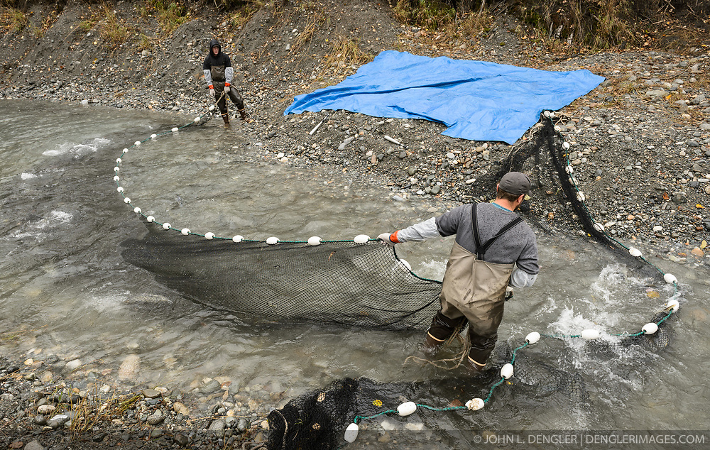 Dylan Burbank (left) and David Campbell, fish technicians for the non-profit Northern Southeast Regional Aquaculture Association, Inc. (NSRAA), use a large net to catch chum salmon in a man-made spawning channel near Herman Creek located near Haines, Alaska. <br /> <br /> NSRAA built the channel to collect wild broodstock by harvesting spawning female and male salmon for their eggs and milt to artificially spawn wild chum salmon. The eggs are fertilized with milt and placed in stream-side incubation boxes on Herman Creek and the Klehini River. In 2014, 2.4 million eggs were seeded into these incubation boxes. The 2013 incubation box survival rate was 90%. Without the artificial spawning, natural survival is said to be only 10%.<br /> <br /> Based in Sitka, Alaska, NSRAA conducts salmon enhancement projects in northern southeast Alaska. It is funded through a salmon enhancement tax (of three percent) and cost-recovery income. NSRAA also produces sockeye, chinook, and coho salmon.<br /> <br /> Male chum salmon return to Herman Creek to spawn with female chum salmon during the fall chum salmon run. The chum salmon return to freshwater Herman Creek, tributary of the Klehini River after living three to five years in the saltwater ocean. Spawning only once, chum salmon die approximately two weeks after they spawn. <br /> <br /> Chilkat River and Klehini River chum salmon are the primary food source for one of the largest gatherings of bald eagles in the world. Each fall, bald eagles congregate in the Alaska Chilkat Bald Eagle Preserve.