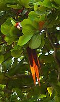 Macaw in a tree at Lapa Rios Ecolodge, Osa Peninsula, Costa Rica