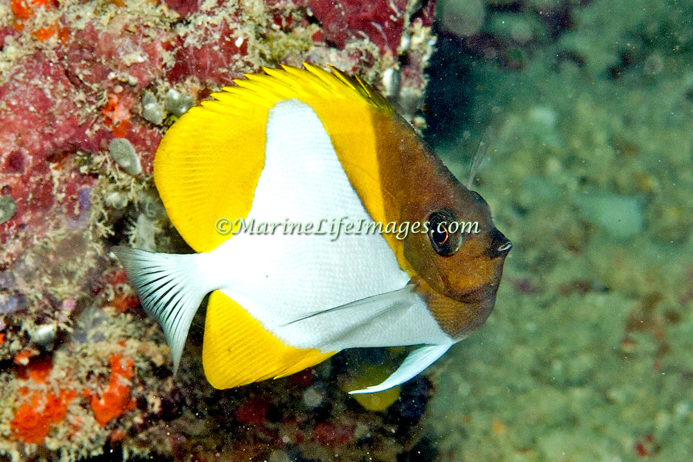 Pyramid Butterflyfish inhabit reefs. Picture taken Fiji.