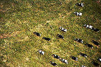 aerial view of running cattle