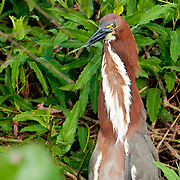 Tiger Heron sits along the Pixiam river in the Pantanal, Brazil
