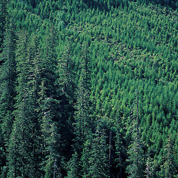 Siskiyou N.F., OR..Siskiyou Mountains. Clearcuts. Spruce-Fir Forest.  June.