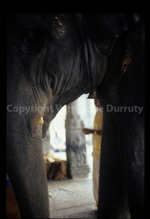 L'éléphant du Temple de Tiruvanamalai, Tamil Nadu, Inde du Sud // Elephant, Tiruvanamalai temple, Tamil Nadu, Southern India