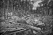 Brazil, Amazonas, Eldorado do Juma.<br /> <br /> Grota rica, garimpeiros.<br /> Eldorado do Juma est maintenant un bidonville de plastique noir et de misere croissante sur la rive du fleuve, qui attire les prospecteurs. Des centaines d'hommes y creusent la boue sur leurs petites parcelles delimitees par des branchages et des ficelles. A la fin du jour, les plus chanceux auront trouve quelques poussieres d'or, vendues ensuite 40 reals le gramme (14,5 euros) a Apui, 65km au nord. Les plus riches du coin sont ceux et celles qui cuisinent, nettoient ou divertissent les mineurs.<br /> Il y a trop de prospecteurs pour la teneur du filon, du coup les garimpeiros s&rsquo;eparpillent sur une surface qui couvre plus de 40 hectares. Tous les mineurs dependent de l'autorisation d'une cooperative de proprietaires pour travailler. Ces proprietaires ne possedent pourtant pas de titre foncier pour justifier leur etat, ils sont simplement arriver les premiers sur les parcelles : c'est la loi de l'or.<br /> Quatre mois apres le debut de cette ruee, la plupart du minerai qui peut etre extrait manuellement a ete trouve, les mineurs qui restent sont les survivants de la rumeur. Ils n'ont souvent plus rien et esperent seulement trouver de quoi payer le voyage pour aller tenter leur chance vers d'autres terres promises.