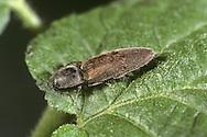 Click Beetle - Athous haemerroidalis