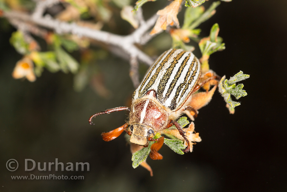Ten-lined June beetle (Polyphylla decemlineata) in Central Oregon. © Michael Durham