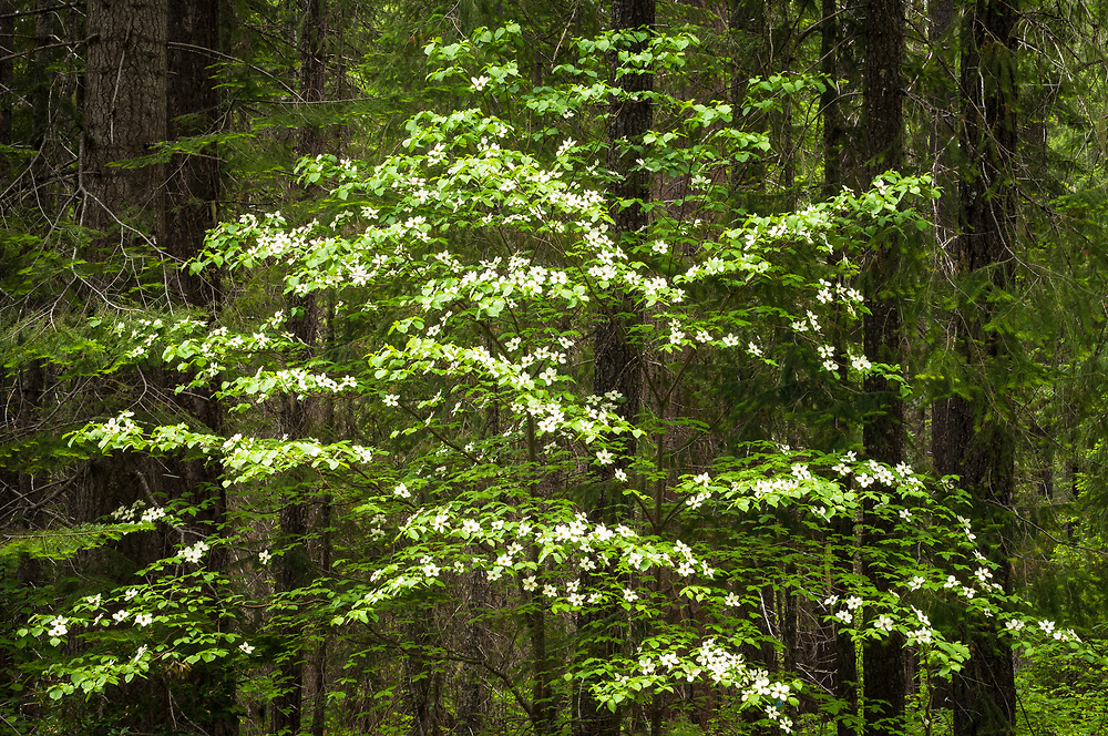 Pacific Dogwood tree, Cornus nuttallii; Rogue River-Siskiyou National Forest, Cascade Mountains, Oregon.