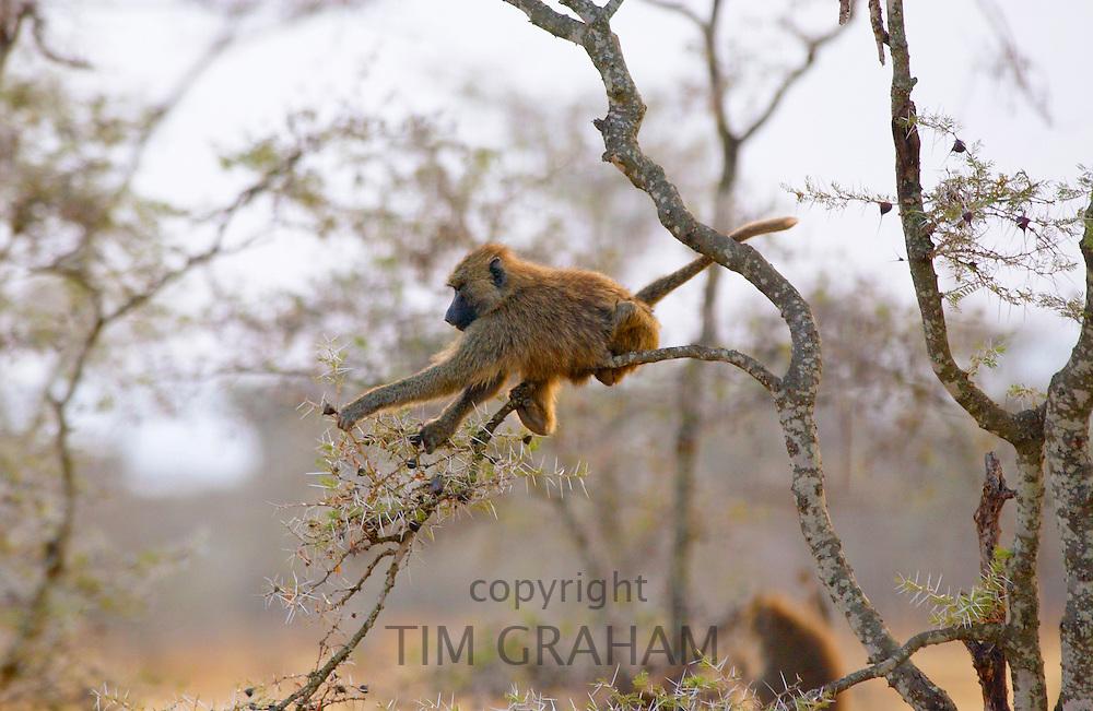 An Olive baboon, Grumeti, Tanzania