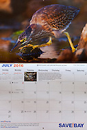 Image of a juvenile green heron was used for July in the Save The Bay 2016 calendar.