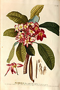 Coloured Copperplate engraving of a Plumeria flower and branch from hortus nitidissimus by Christoph Jakob Trew (Nuremberg 1750-1792)