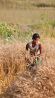 Nepalese girl harvesting wheat, Bardiya, Nepal