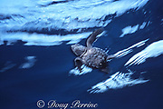 Kemp's ridley sea turtle hatchling, Lepidochelys kempii, Critically Endangered Species, starts its journey towards the open ocean, Rancho Nuevo, Mexico
