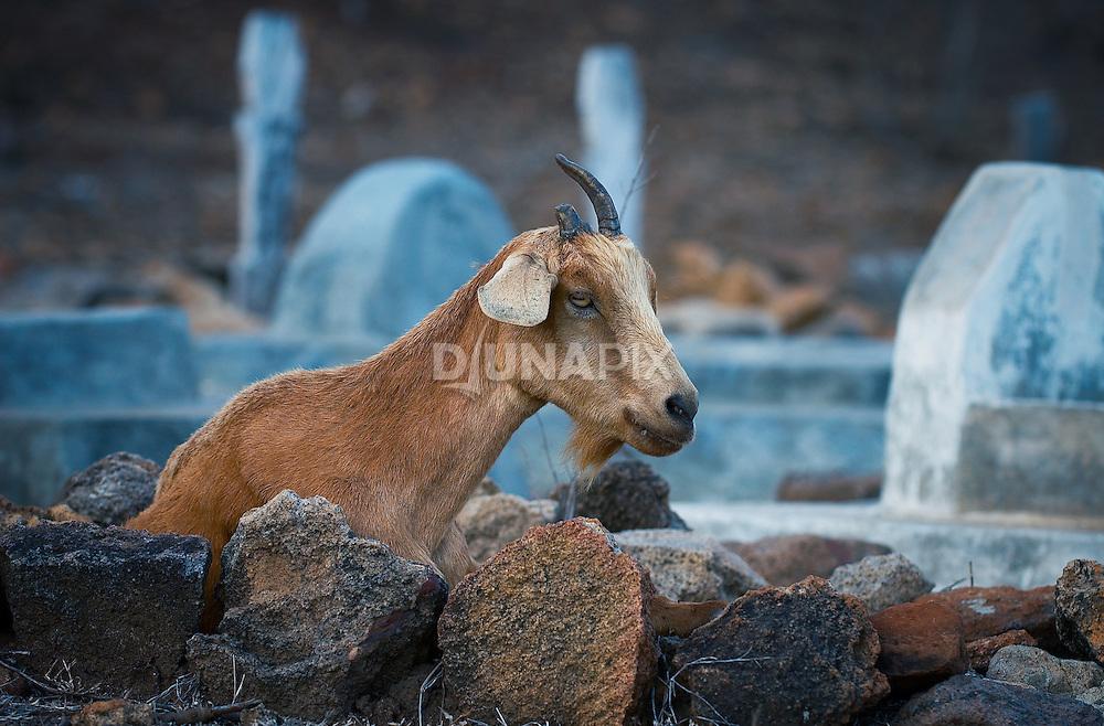 Goat in cemetary, Komodo Village, Komodo National Park