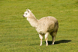 Chile, Lake Country: The alpaca is a camelid raised for its fine wool.  Alpaca in a green grass field near Peulla..Photo #: ch673-33238.Photo copyright Lee Foster, www.fostertravel.com, lee@fostertravel.com, 510-549-2202.
