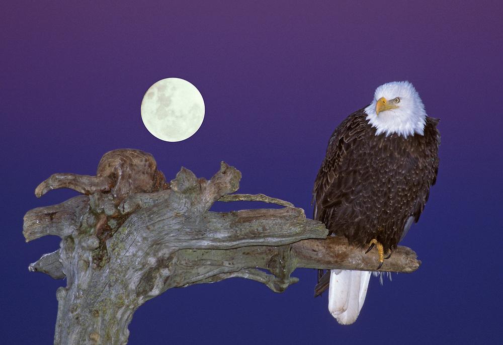 Bald Eagle and Moon, pre-sunrise, Kachemak Bay, Alaska