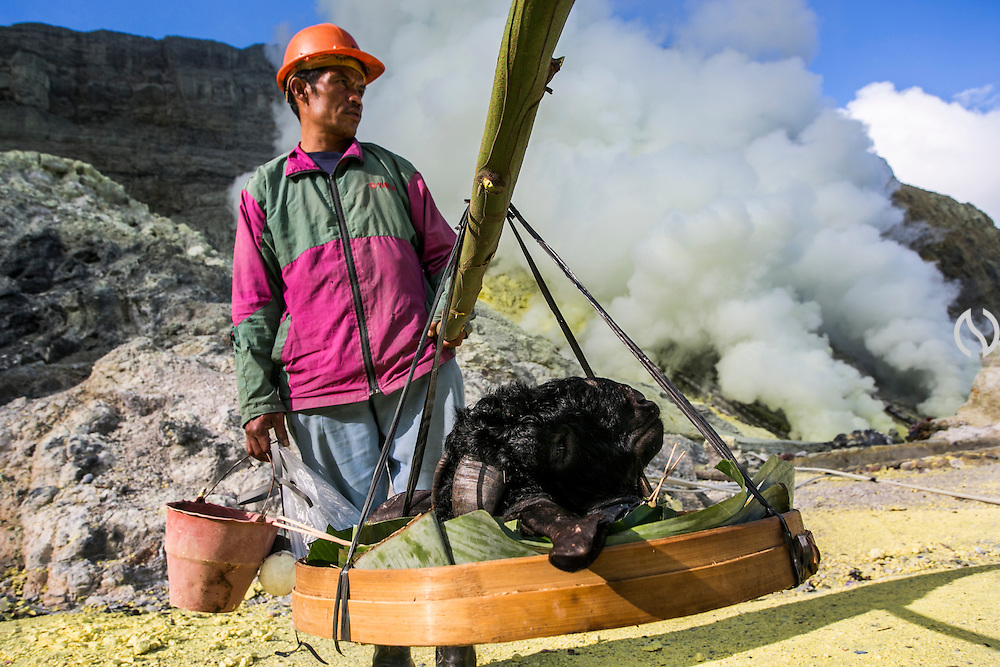 BONDOWOSO, EAST JAVA - DECEMBER 17: Miners bring the head of a goat and later on it will be buried in sulfur kitchen as an annual sacrificial ritual in Ijen crater, Bondowoso, East Java, Indonesia, December 17, 2013. The miners held the sacrifice in order to ask blessing of good result and prevent from accident or injury. The tradition begun in 1978 after a tragedy that killed four people and fourteen black out cause of poisoning gas. Daily miners produce fifteen ton of sulfur or approximately 450 ton a month. Come close to 150 miners work everyday. All the sulfur goes to sugar factory ans used as sugar whitening.