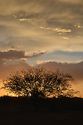 Sunset silhouettes a mesquite tree as seen from the east side, Tucson, Arizona, Sonoran Desert, USA.