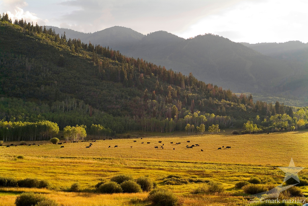 cows grazing in meadow at entrance to Park City, Utah