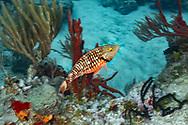 Stoplight parrotfish - Perroquet feu (Sparisoma viride), Cozumel, Yucatan peninsula, Mexico.