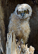 Great Horned Owlet  - one of a trio of owlets at Twin Lakes, Boulder County, Colorado in Spring 2015.