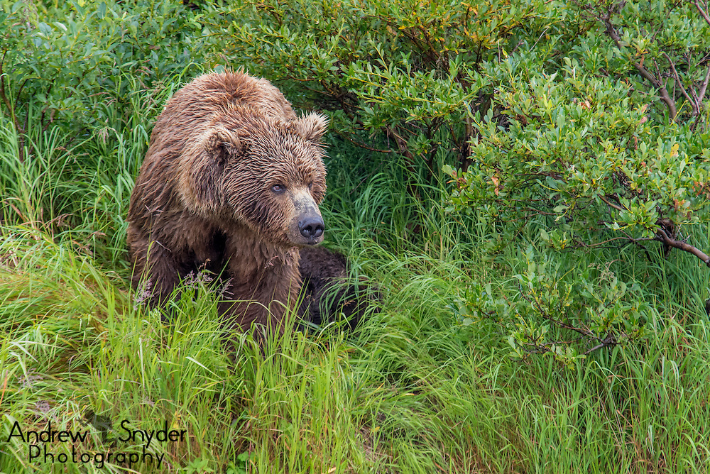 A mother bear observes her surroundings - Katmai, Alaska