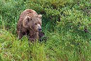 A mother bear observes her surroundings - Katmai, Alaska