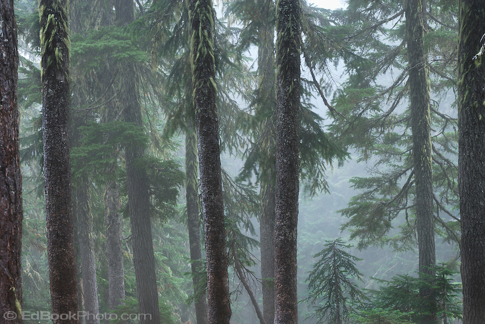 A mixed coniferous forest is bathed in moist fog in the Indian Heaven Wilderness - Gifford Pinchot National Forest, Cascade Range of Washington State.