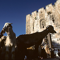 Israel, Jerusalem, Goats at livestock market in Arab Quarter outside walled city on spring morning