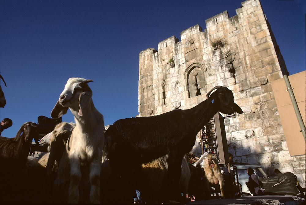 Israel, Jerusalem, Goats at livestock market in Arab Quarter outside walled city on spring morning