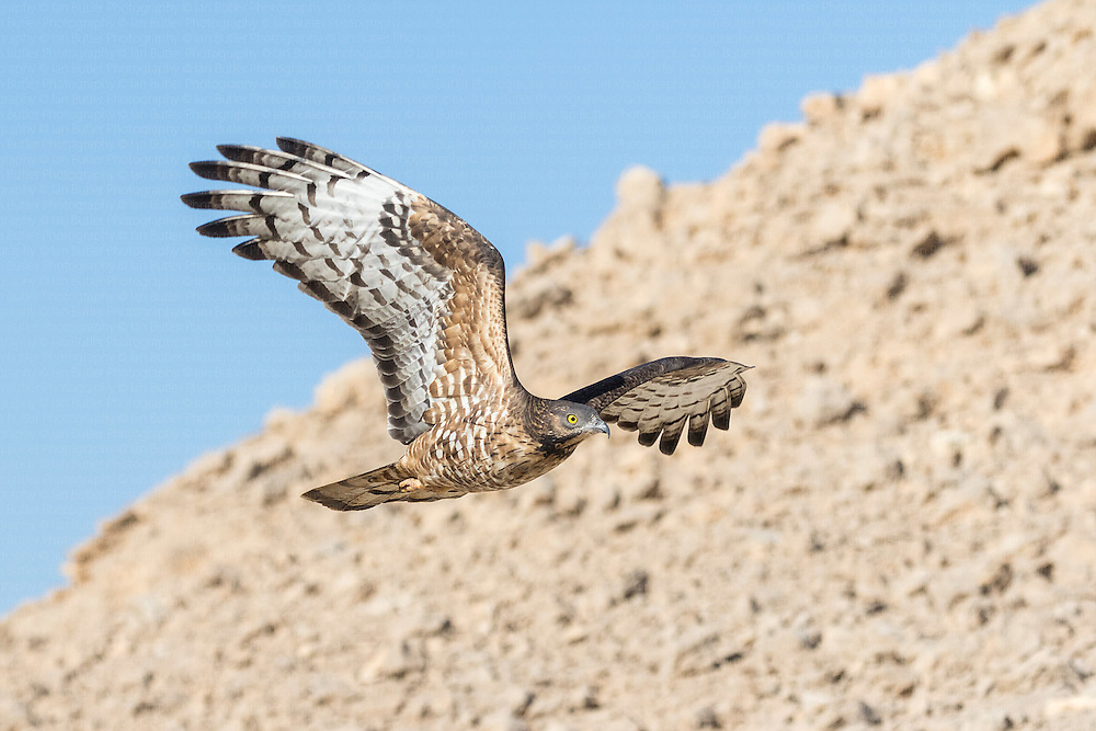 Female hybrid Crested x European Honey Buzzard Pernis ptilorhynchus x apivorus flying against rocky terrain of Eilat Mountains on migration, Israel, April, 2016.