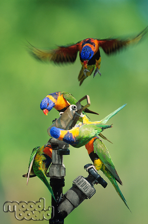 Five Rainbow Lorrikeets playing with garden hose