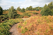 Heathland vegetation autumn, Hollesley Common, Suffolk, England