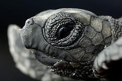 A hatchling Loggerhead Sea Turtle (Caretta caretta) has a sharp tip below the nostrils to help pipping through the paper-like egg shell.   Unechte Karettschildkröte (Caretta caretta)
