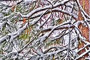 USA, Idaho, Valley County, Tamarack Resort, Snow on Pine Tree