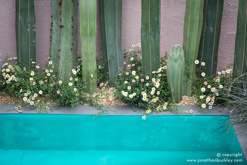 Stenocereus - Cactus with Erigeron karvinskianus, Mexican daisies<br /> Beneath a Mexican Sky Garden<br /> RHS Chelsea Flower Show 2017<br /> Design: Manoj Malde<br /> Built by: Living Landscapes<br /> Sponsored by: Inland Homes PLC<br /> Photography &copy; Copyright Jonathan Buckley
