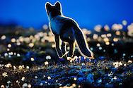 Arctic, Fox, Canada, Nunavuut, CL, Jump