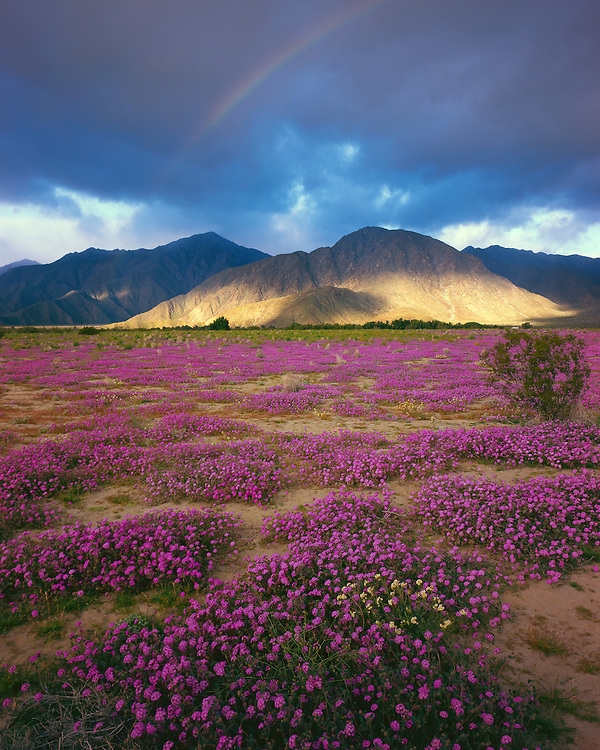 Desert sand verbena (Abronia villosa), Anza-Borrego Desert State Park, CA / #CAL101