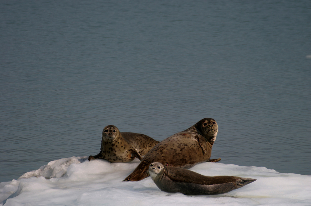 Harbor seals (Phoca vitulina) haul on for a rest on an iceberg.