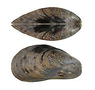Horse-mussel - Modiolus modiolus